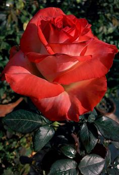 My mother had two Rose gardens. She grew a version of this rose.
