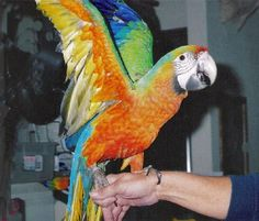 The Starlight Macaws have a Scarlet Macaw father and a Miligold mother, they are strongly influenced by the colors of the Scarlet.