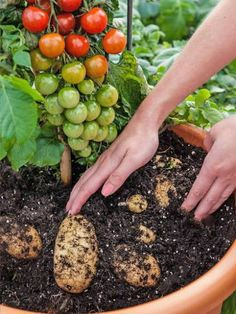 """Growing Tomatoes In Pots A plant which produces both potatoes and tomatoes, described as a """"veg plot in a pot"""", has been launched in the UK. - Plant can grow sweet cherry tomatoes while producing white potatoes Growing Veggies, Growing Tomatoes, Growing Plants, Veg Garden, Edible Garden, Garden Plants, Vegetable Gardening, Garden Web, Balcony Garden"""