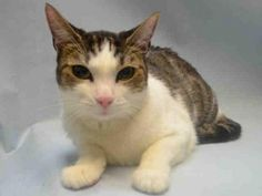 """http://nyccats.urgentpodr.org/pumarilla-a1056147/ ☆ HELP PUMARILLA – IN SHELTER FROM 10/27/2015 ☆ SURRENDERED BECAUSE THE OWNER HAD A BABY ☆ Lovely 4 year old spayed female cat in Brooklyn Center. """"Pumarilla has really come out of her shell since she first came to us at ACC. Initially nervous and timid, she's settled into being A BIG MUSH THAT LOVES TO BE PET AND SCRATCHED. She has lived with children and would be a good edition to almost any home."""" ♥ PUMARILLA NEEDS SOMEBODY WHO REALLY CARE…"""