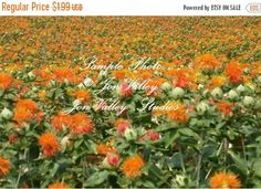 Safflower 300 Seeds Annual Flower Seed wildflower Bright