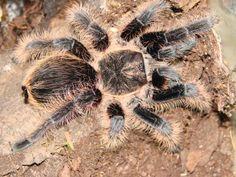 Nazwa polska: Ptasznik kędzierzawy; Nazwa łacińska: Brachypelma albopilosum;  Nazwa angielska: Curlyhair. Raczej powolny, nie agresywny. Czarny z długimi brązowymi włosami, zaniepokojony wyczesuje włoski parzydełkowe.