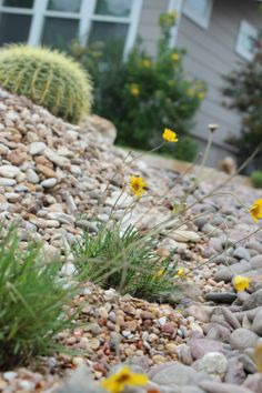 The Four Nerve Daisy blends in so well with the rock and cacti!