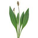 Jitrocel Plants, Composters, Flora, Plant, Planting