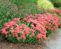 12 Low Maintenance Plants That Anyone Can Care For autumn joy sedum