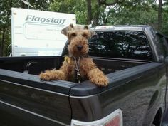 welsh terrier: amateur road