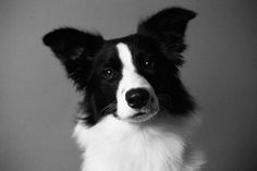 black and white dog photography, working line border collies, service dog, pet photography