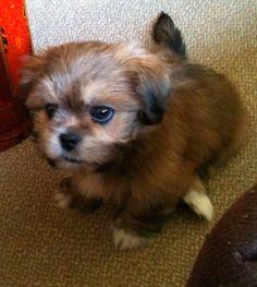 Ernie as a pup - Lhasa Apso