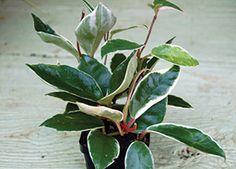 Hoya Asclepiadoideae