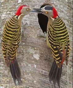 "Hispaniolan Woodpecker..........""HI MRS. WOODBURN - HOW'S THINGS A-GOING??"".........MRS. WOODBURN: ""OH MISS CALCULATE, I JUST KEEP PECKING AWAY - BUT, IT DOEN'T SEEM TO MAKE A DENT !!""..............ccp"