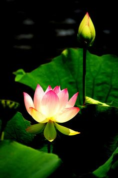 The lotus is often used as a Buddhist symbol. The plant  grows in the mud of materialism or suffering, but blooms pristinely above the water's surface, symbolizing the achievement of purity or enlightenment.