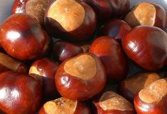 In parks, gardens and along roadside verges around Britain, children will be found beneath lofty Horse Chestnut trees scavenging for conkers. Moth Repellent, Coffee Substitute, Soap Nuts, Conkers, Chestnut Horse, Craft Wedding, What To Make, Natural World, Coco