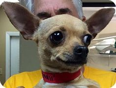 Tampa, FL - Chihuahua Mix. Meet Juanita, a dog for adoption. http://www.adoptapet.com/pet/15174555-tampa-florida-chihuahua-mix