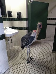 Migrating for winter: A photo from the St Augustine Alligator Farm and Zoological Park shows a marabou stork in a restroom; The zoo moved all of its birds and mammals inside ahead of Matthew's arrival
