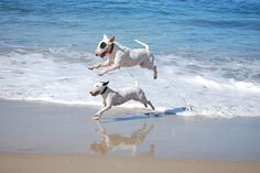 Happy Bull Terriers having the time of their lives.