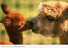 Sweet Alpaca kisses - goaww.com.  Awww!  I want to have an Alpaca farm someday.