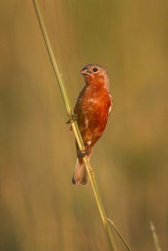 Foto caboclinho-de-sobre-ferrugem (Sporophila hypochroma) por Sergio Messias | Wiki Aves - A Enciclopédia das Aves do Brasil