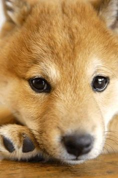 Shiba Inu puppy, 柴犬, super cute <3. ~lisa