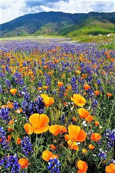 Texas bluebonnets and poppies