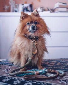 Reynard sieht richtig cool aus in seinem neuen #pawsome Set bestehend aus handgefärbter Baumwoll-Leine und #fettlederhalsband in Oliv. Ob Mini oder Riese - dank unserer individuellen Maßfertigung findet bei uns jeder Wuffi das passende Halsband und die perfekte Leine! | Hundezubehör nachhaltig | Hundehalsband nach Maß | Hundezubehör Maß Fox, Mini, Animals, Dog Leash, Dog Accessories, Sustainability, Linen Fabric, Pictures, Animales