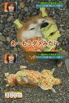 Happy Shiba Inu