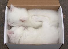 ☆How sweet two Snow White kittens asleep cuddling in a box.