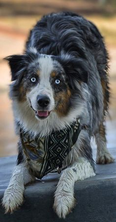 Check Out Australian Shepherd Golden Retriever American Shepherd, Australian Shepherd Dogs, Aussie Puppies, Dogs And Puppies, Doggies, Blue Merle, I Love Dogs, Cute Dogs, Koolie Dog
