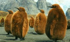Photo of the Day: King Penguin Chicks Photography by Amanda Stadther (Richfield, TN); Gold Harbor, South Georgia Island) of the day march Smithsonian Magazine Especie Animal, Mundo Animal, Beautiful Birds, Animals Beautiful, Baby Animals, Cute Animals, Amazing Animals, King Penguin, Emperor Penguin