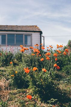 Wild poppy garden outside a rustic beach cabin Seaside Garden, Meadow Garden, Mandarin Stone, Wild Poppies, Picture Postcards, Style Tile, Weekend Is Over, Outdoor Ideas, Swan