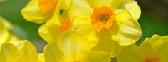 Yellow Flowers Facebook Timeline Cover
