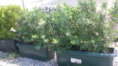 Polygala ile çit bitkisi uygulaması