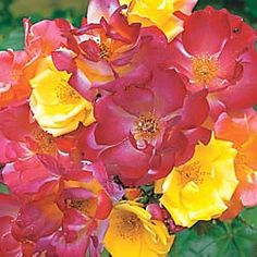 'Joseph's Coat' is a vigorous climbing rose with color-changing blooms! Zones 5 - 10.