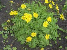 New England Hawkweed (Hieracium sabaudum) Artemisia Annua, Winter Crops, Edible Plants, Green Garden, Life Is Beautiful, Green Colors, Natural Health, New England, Survival