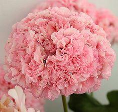 Passat - зональная махровая пеларгония. Цветы нежно-розовые, супер-махровые, такие набивные помпончики, шапки довольно крупные, цветёт очень обильно, на сегодняшний день фаворит в моей коллекции, обожаю!