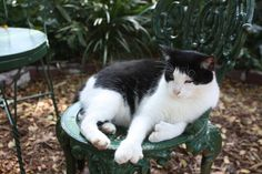 Photo of polydactyl  cat taken at Ernest Hemmingway's home in Key West.  See the toes.