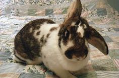 Bertha is an adoptable Flemish Giant Rabbit in Louisville, KY. Bertha came to us when her time ran out at the shelter, which was fortuitous for her since she had been sitting there for months with an ...