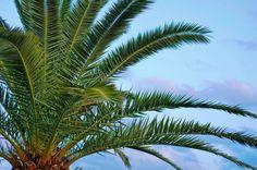 Palmy jako rośliny pokojowe – gatunki do różnych stanowisk | Bambusowy sen - wszystko o bambusach ogrodowych i palmach