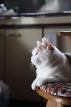 よこがお Portrait - Shironeko, Japan's Celebrity Cat - #Cats