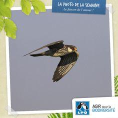 En 2012, BNHS/BirdLife en Inde et ses partenaires se sont mobilisés pour faire face à un gigantesque massacre de Faucons de l'Amour dans le Nagaland et mettre en place un programme de sauvegarde. Aucun Faucon de l'Amour n'a été piégé pendant la migration de l'automne 2013 : un beau symbole pour la Saint Valentin !  Plus d'infos : http://www.lpo.fr/actualite/le-faucon-de-lamour  Faucon de l'Amour (Falco amurensis) © Tom Lindroos
