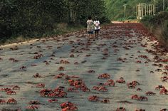 Red crabs, Christmas Island