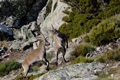 https://flic.kr/p/N1umTx | Young fighters!! Spanish ibex (Capra pyrenaica) - Cabra montés (Capra pyrenaica)