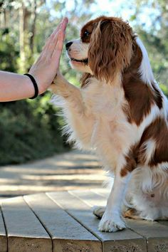 High five! I am trying to teach my Cavvy this !