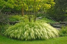 Golden Japanese Forest Grass to fill a shady corner formed when we build the itty-bitty patio under the wisteria arbor.