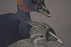 An artist rendition of the non-avian dinosaur Anchiornis (left) and a tinamou, a primitive modern bird (right), with snouts rendered transparent to show the premaxillary and palatine bones.