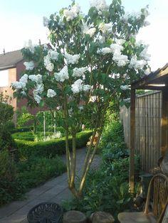 De witte sering, bij de houtstek, is nog een stek uit de tuin van mijn moeder.
