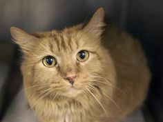 HONEY - A1035339 - - Brooklyn  **TO BE DESTROYED 05/17/15** Gorgeous, Uncomplicated, and an AVERAGE Rating! What's not to love about HONEY? A person can fall in love with Honey simply on the strength of his surrender notes alone. This exceedingly photogenic boy was brought to the shelter by his former owner, a woman who says she found him in a backyard 11 years ago. The ACC can't keep up with those fancy double-digit numbers, so they randomly decided that he is
