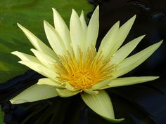 Water Lily | Flickr - Photo Sharing!