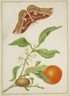 A branch of Seville Orange with a Rothschildia moth
