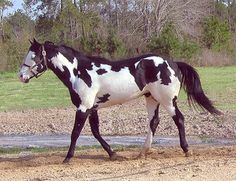 Paint Horse. Horses with pink skin and these patch marking are Paints, horses with gray/normal skin in just a pinto, pinto is the markings.