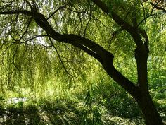 Incense A smoking with the willow bark helps us to make decisions. Fast Growing Shade Trees, Growing Tree, Willow Bark, Willow Tree, Samhain, Magic Herbs, Weeping Willow, Tree Images, Single Tree